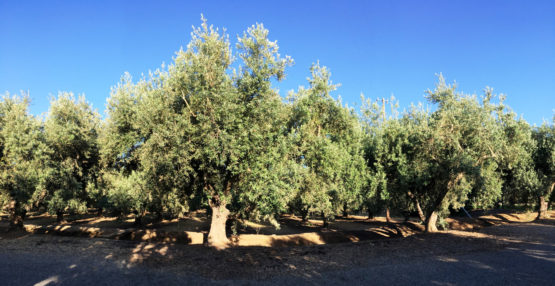 From The Farm To The Table California Ripe Olives California